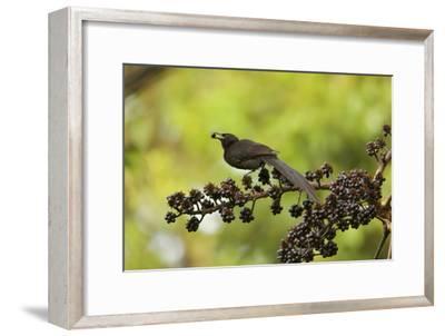 A Female Plumaged Huon Astrapia Bird of Paradise Feeds On Schefflera Fruit-Tim Laman-Framed Photographic Print