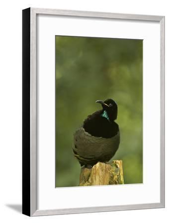 A Male Victoria's Riflebird On His Display Perch-Tim Laman-Framed Photographic Print