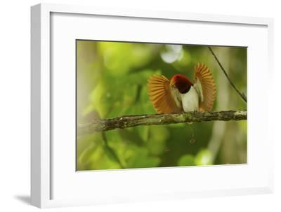 Vogelkopf Peninsula, West Papua, New Guinea, Indonesia-Tim Laman-Framed Photographic Print