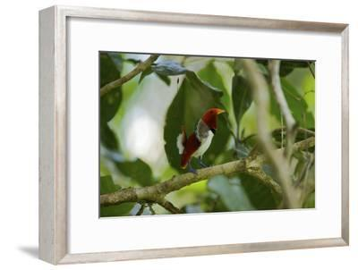 A Male King Bird of Paradise Performs a Dancing Displa-Tim Laman-Framed Photographic Print