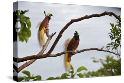 A Pair of Greater Birds of Paradise Perch in a Tree At Their Display Site-Tim Laman-Stretched Canvas Print