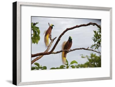 A Pair of Greater Birds of Paradise Perch in a Tree At Their Display Site-Tim Laman-Framed Photographic Print