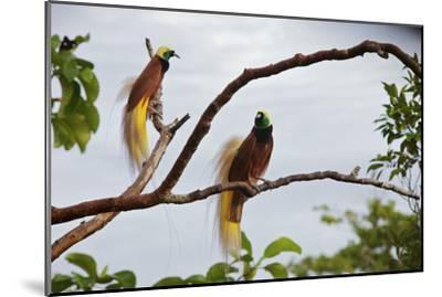 A Pair of Greater Birds of Paradise Perch in a Tree At Their Display Site-Tim Laman-Mounted Photographic Print