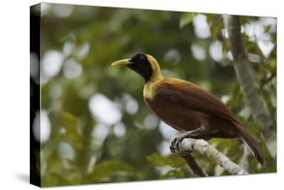 A Young Male Red Bird of Paradise Perches in Mountain Forest-Tim Laman-Stretched Canvas Print