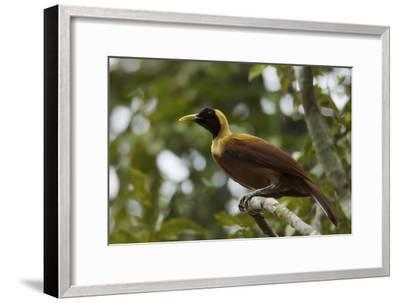 A Young Male Red Bird of Paradise Perches in Mountain Forest-Tim Laman-Framed Photographic Print