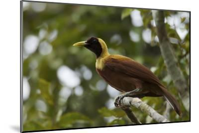 A Young Male Red Bird of Paradise Perches in Mountain Forest-Tim Laman-Mounted Photographic Print