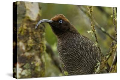 A Young Male Brown Sicklebill in Female Plumage-Tim Laman-Stretched Canvas Print