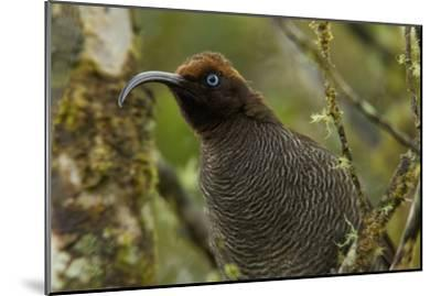 A Young Male Brown Sicklebill in Female Plumage-Tim Laman-Mounted Photographic Print