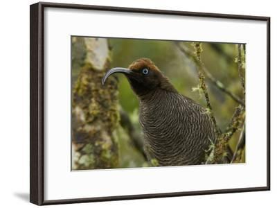 A Young Male Brown Sicklebill in Female Plumage-Tim Laman-Framed Photographic Print