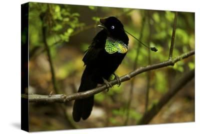 A Male Wahne's Parotia On Perch Above Display Court-Tim Laman-Stretched Canvas Print