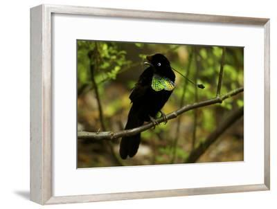 A Male Wahne's Parotia On Perch Above Display Court-Tim Laman-Framed Photographic Print