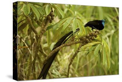 A Male Princess Stephanie's Astrapia Bird of Paradise Feeds On Schefflera Fruit-Tim Laman-Stretched Canvas Print
