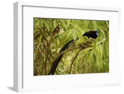 A Male Princess Stephanie's Astrapia Bird of Paradise Feeds On Schefflera Fruit-Tim Laman-Framed Photographic Print