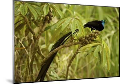 A Male Princess Stephanie's Astrapia Bird of Paradise Feeds On Schefflera Fruit-Tim Laman-Mounted Photographic Print