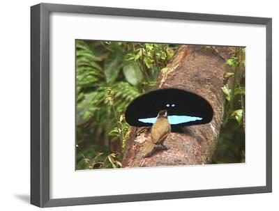 An Adult Male Superb Bird of Paradise Displays to a Female On a Log-Tim Laman-Framed Photographic Print