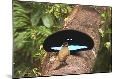 An Adult Male Superb Bird of Paradise Displays to a Female On a Log-Tim Laman-Mounted Photographic Print