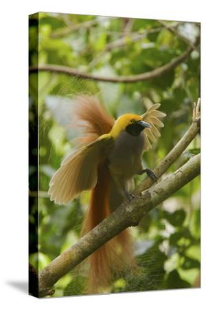 A Goldie's Bird of Paradise Adult Male Performing His Courtship Display.-Tim Laman-Stretched Canvas Print