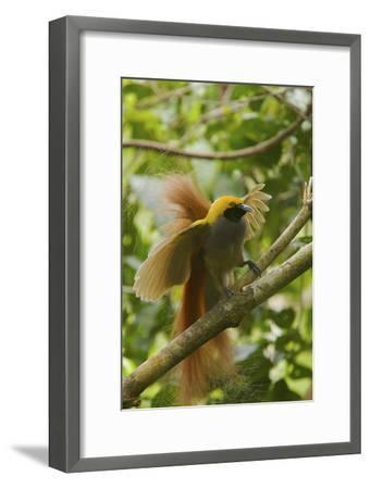 A Goldie's Bird of Paradise Adult Male Performing His Courtship Display.-Tim Laman-Framed Photographic Print