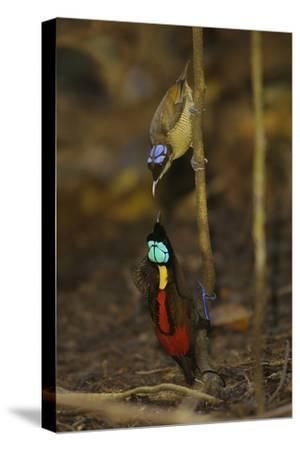 A Male Wilson's Bird of Paradise Displays to Female From a Sapling-Tim Laman-Stretched Canvas Print