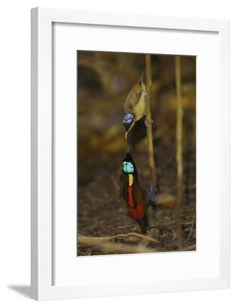 A Male Wilson's Bird of Paradise Displays to Female From a Sapling-Tim Laman-Framed Photographic Print