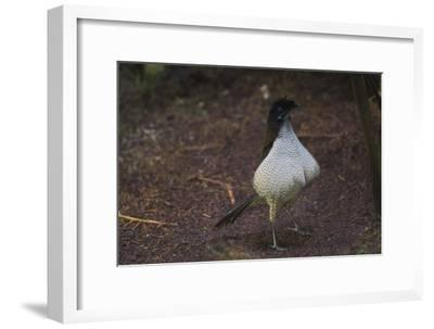 A Young Male Western Paroia, Still in Female Plumage, Practices the Ballerina Dance-Tim Laman-Framed Photographic Print