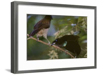 A Western Parotia Bird of Paradise Male Displays for a Female-Tim Laman-Framed Photographic Print