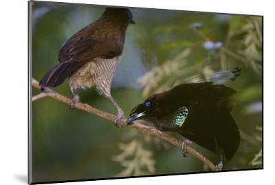 A Western Parotia Bird of Paradise Male Displays for a Female-Tim Laman-Mounted Photographic Print