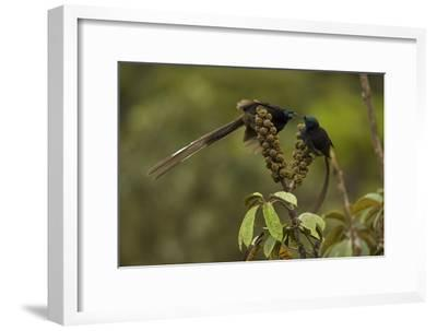 Female and Young Male Ribbon Tailed Astrapias Eat Schefflera Fruit-Tim Laman-Framed Photographic Print