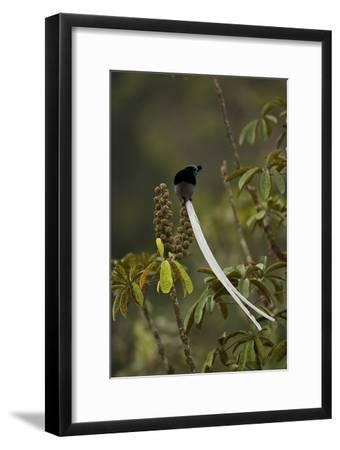 An Adult Male Ribbon Tailed Astrapia On a Schefflera Tree-Tim Laman-Framed Photographic Print