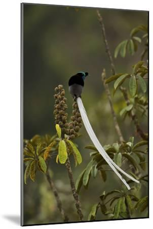 An Adult Male Ribbon Tailed Astrapia On a Schefflera Tree-Tim Laman-Mounted Photographic Print