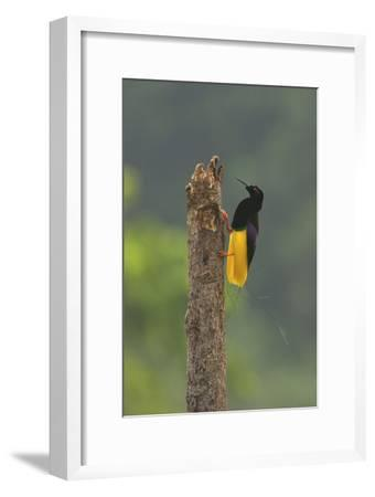 A Male Twelve Wired Bird of Paradise At His Display Pole-Tim Laman-Framed Photographic Print