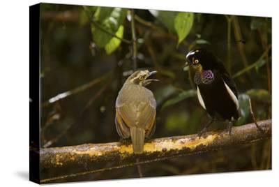 A Male Carola's Parotia Displays to a Female At His Display Court-Tim Laman-Stretched Canvas Print