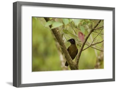 A Female Lawes's Parotia Bird of Paradise Foraging-Tim Laman-Framed Photographic Print