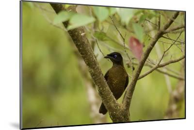 A Female Lawes's Parotia Bird of Paradise Foraging-Tim Laman-Mounted Photographic Print