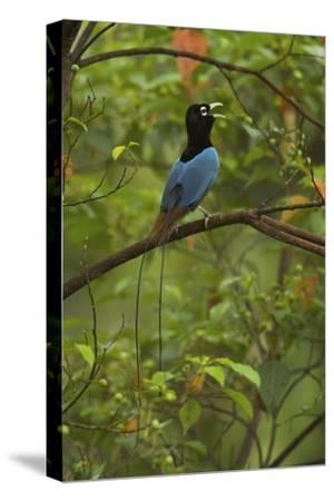 A Male Blue Bird of Paradise Calling-Tim Laman-Stretched Canvas Print