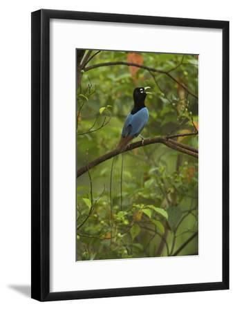 A Male Blue Bird of Paradise Calling-Tim Laman-Framed Photographic Print