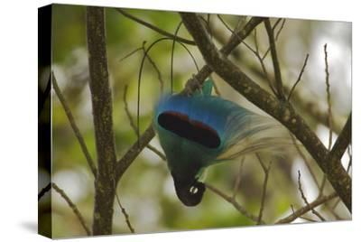 A Male Blue Bird of Paradise Performs Practice Display-Tim Laman-Stretched Canvas Print
