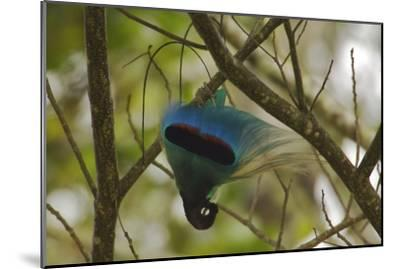 A Male Blue Bird of Paradise Performs Practice Display-Tim Laman-Mounted Photographic Print