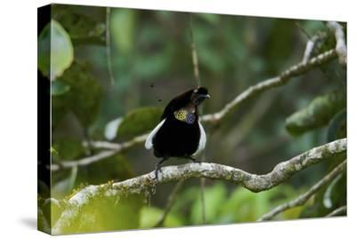 A Male Bronze Parotia Bird of Paradise in the Foja Mountains-Tim Laman-Stretched Canvas Print