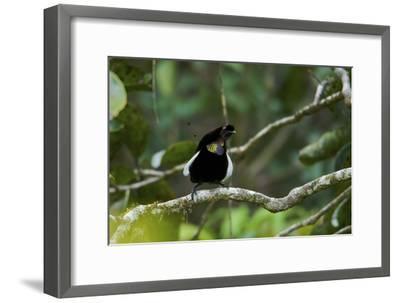 A Male Bronze Parotia Bird of Paradise in the Foja Mountains-Tim Laman-Framed Photographic Print