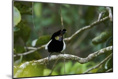 A Male Bronze Parotia Bird of Paradise in the Foja Mountains-Tim Laman-Mounted Photographic Print
