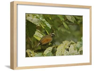 A Female Bronze Parotia Bird of Paradise in the Foja Mountains-Tim Laman-Framed Photographic Print