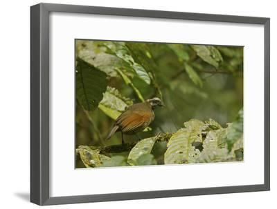 A Female Bronze Parotia Bird of Paradise in the Foja Mountains-Tim Laman-Framed Photographic Print