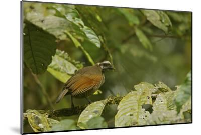 A Female Bronze Parotia Bird of Paradise in the Foja Mountains-Tim Laman-Mounted Photographic Print
