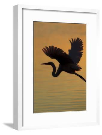 A Silhouetted Great Egret, Ardea Alba, Flying Over Water at Sunset-Robbie George-Framed Photographic Print