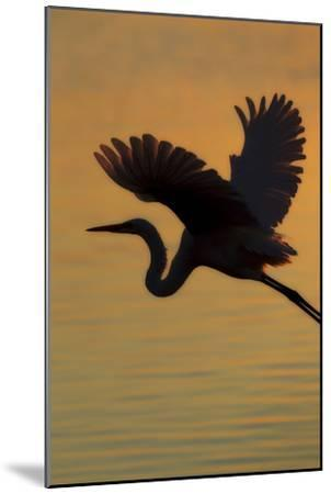 A Silhouetted Great Egret, Ardea Alba, Flying Over Water at Sunset-Robbie George-Mounted Photographic Print