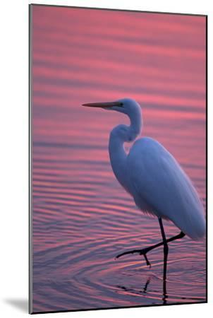 Portrait of a Great Egret, Ardea Alba, Walking the Shore at Sunset-Robbie George-Mounted Photographic Print