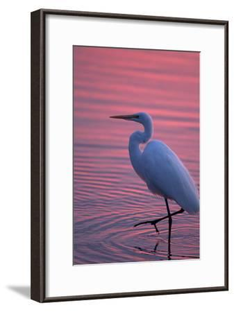 Portrait of a Great Egret, Ardea Alba, Walking the Shore at Sunset-Robbie George-Framed Photographic Print