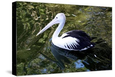 An Australian Pelican at a Zoo-Jill Schneider-Stretched Canvas Print