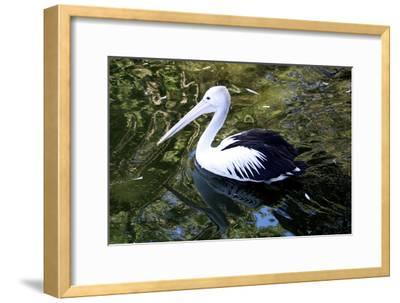 An Australian Pelican at a Zoo-Jill Schneider-Framed Photographic Print
